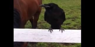 kråke får hjelp