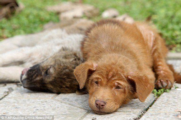 loyal-puppy