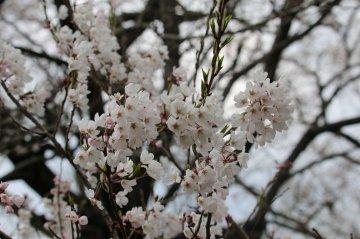 2014桜[相馬市]椎木の種蒔ザクラ