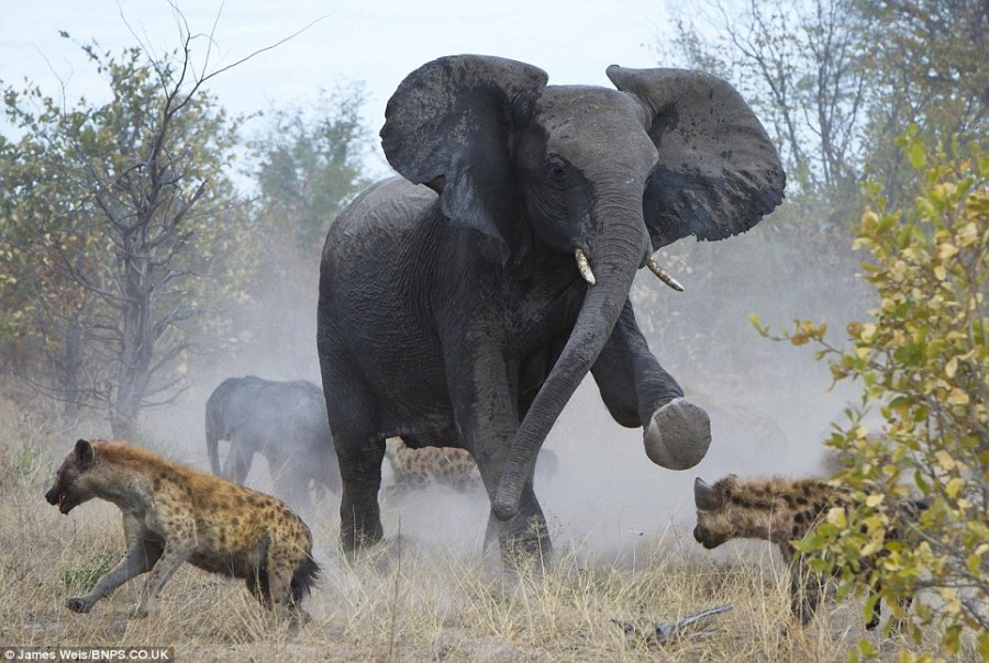 Elephant charging prey