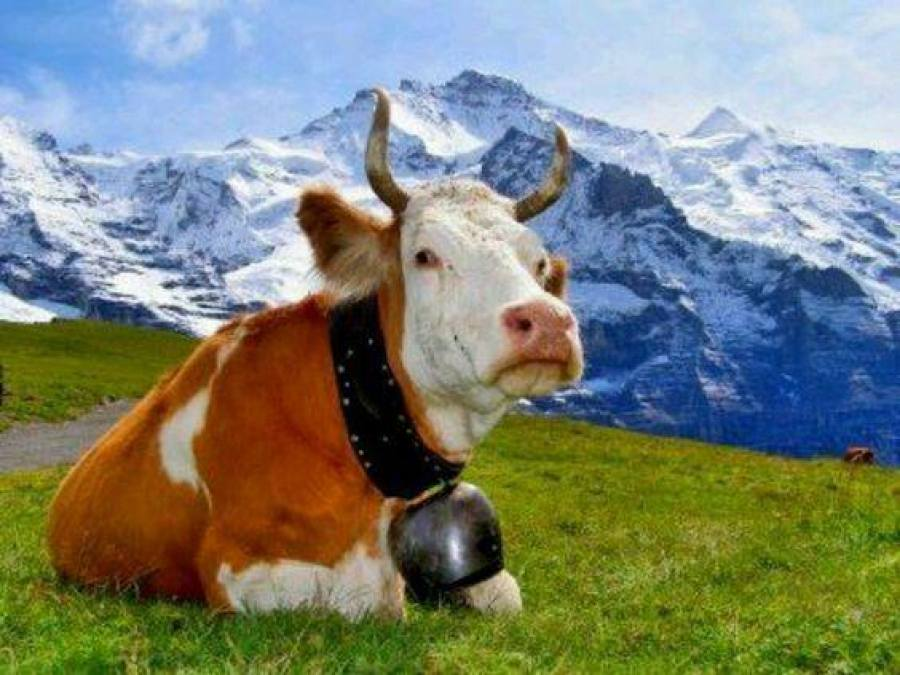 cow with bell in Alps