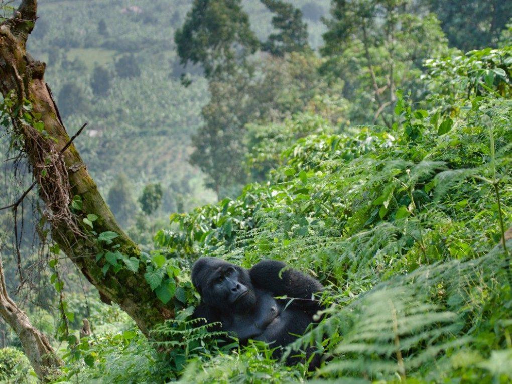 Gorilla-trekking-in-Rwanda-1050x788-1