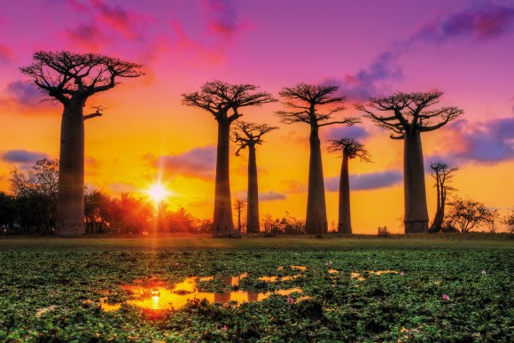 Beautiful Baobab trees at sunset at the avenue of the baobabs in