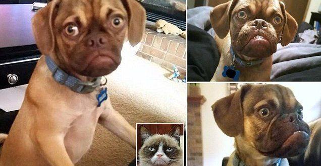 GRUMPY DOG BECOMES THE NEW GRUMPY CAT
