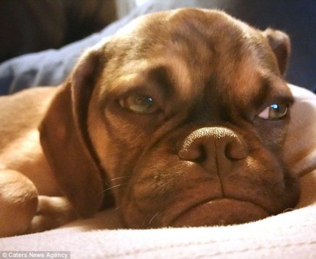 2AE65E2500000578-3177113-Earl_the_grumpy_dog_is_a_second_generation_puggle_meaning_both_h-a-3_1438079917935