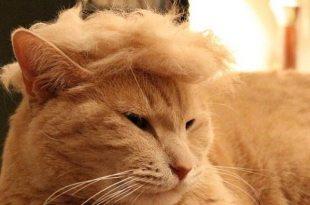 Cats imitating Donald Trump take over the internet #TrumpYourCat