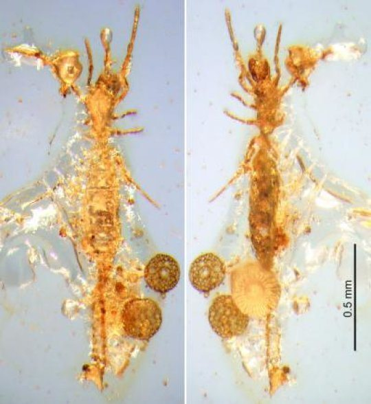 First Microwhip Scorpion From Mesozoic Era Found in Burmese Amber
