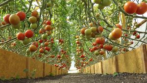 Cultivation of tomatoes in a greenhouse for beginners