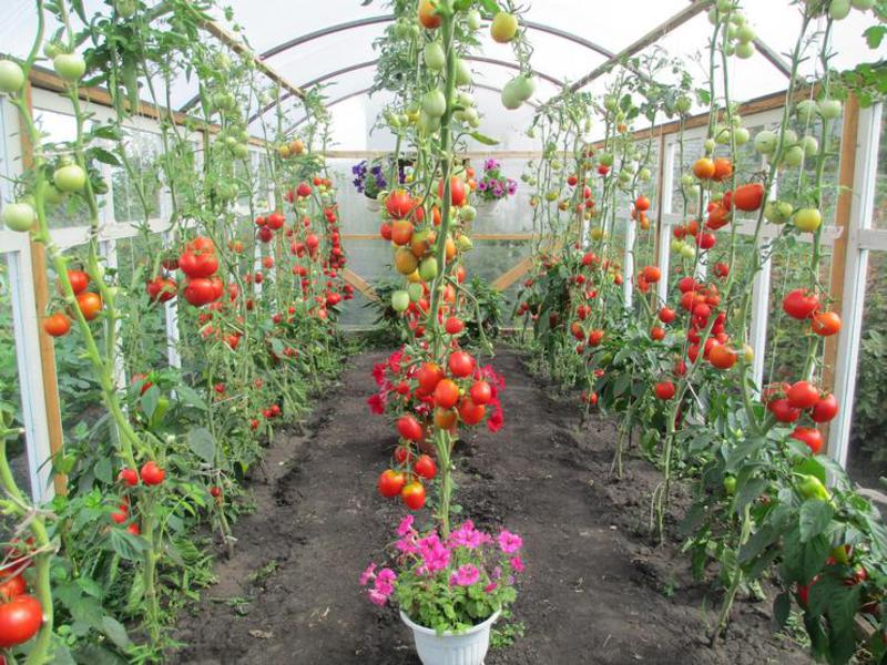 Characteristics and description of species of tomato grown in greenhouse