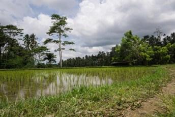 Bewässertes Reisfeld.
