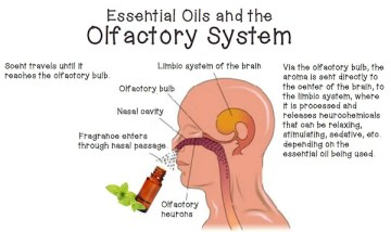 essential-oils-and-the-brain