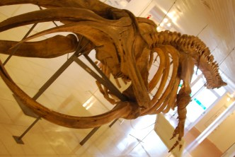 Adolecent Male Right Whale skeleton