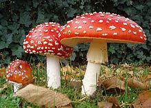 220px-2006-10-25_amanita_muscaria_crop