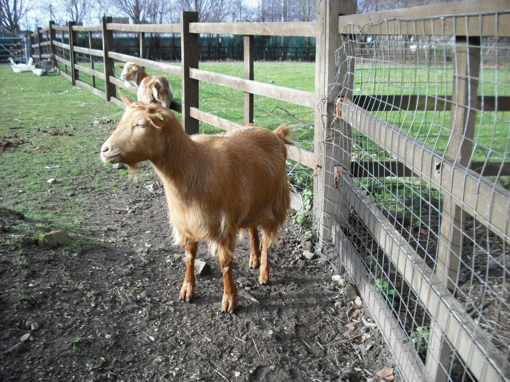 Goat at Hackney City Farm, London, by Peter Thompson