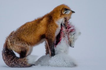 The Tale of two foxes