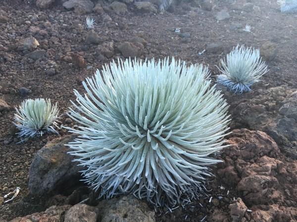 Silversword, flor rara de Maui