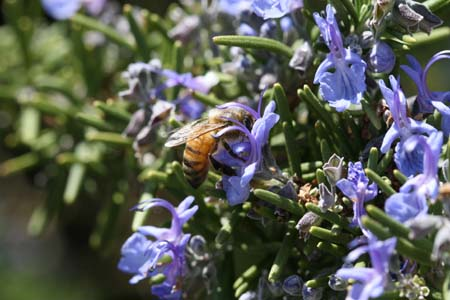 rosemary-with-bee-052-resized.jpg