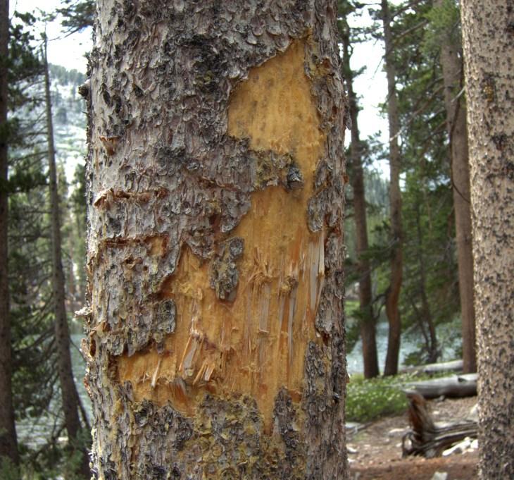 marked-tree-bear-claw