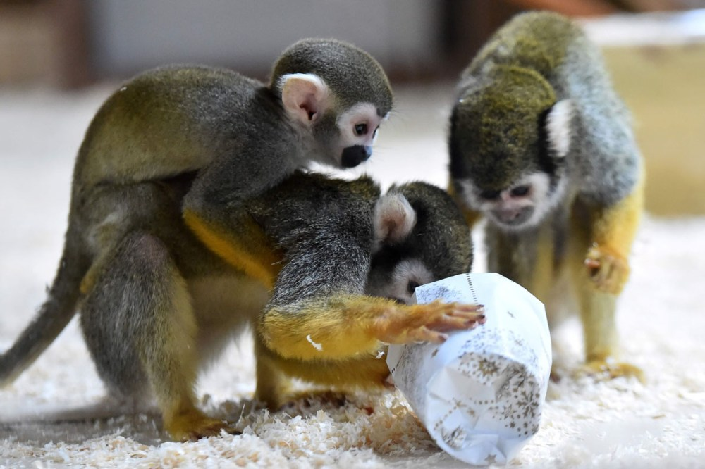 Squirrel monkeys trie to open a wrapped package filled with food as a Christmas gift at the zoo of La Fleche, western France, on December 23, 2016.  / AFP PHOTO / JEAN-FRANCOIS MONIERJEAN-FRANCOIS MONIER/AFP/Getty Images ** OUTS - ELSENT, FPG, CM - OUTS * NM, PH, VA if sourced by CT, LA or MoD **