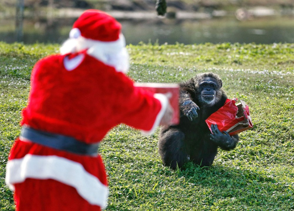 Santa Claus offers a gift to a chimpanzee during the 'Christmas with the Chimps' event at Lion Country Safari in West Palm Beach, Florida, on December 22, 2016.  Lion Country Safari, America's first cageless zoo, has held the annual event for over 20 years with Santa Claus leaving presents and treats for the chimps. / AFP PHOTO / RHONA WISERHONA WISE/AFP/Getty Images ** OUTS - ELSENT, FPG, CM - OUTS * NM, PH, VA if sourced by CT, LA or MoD **