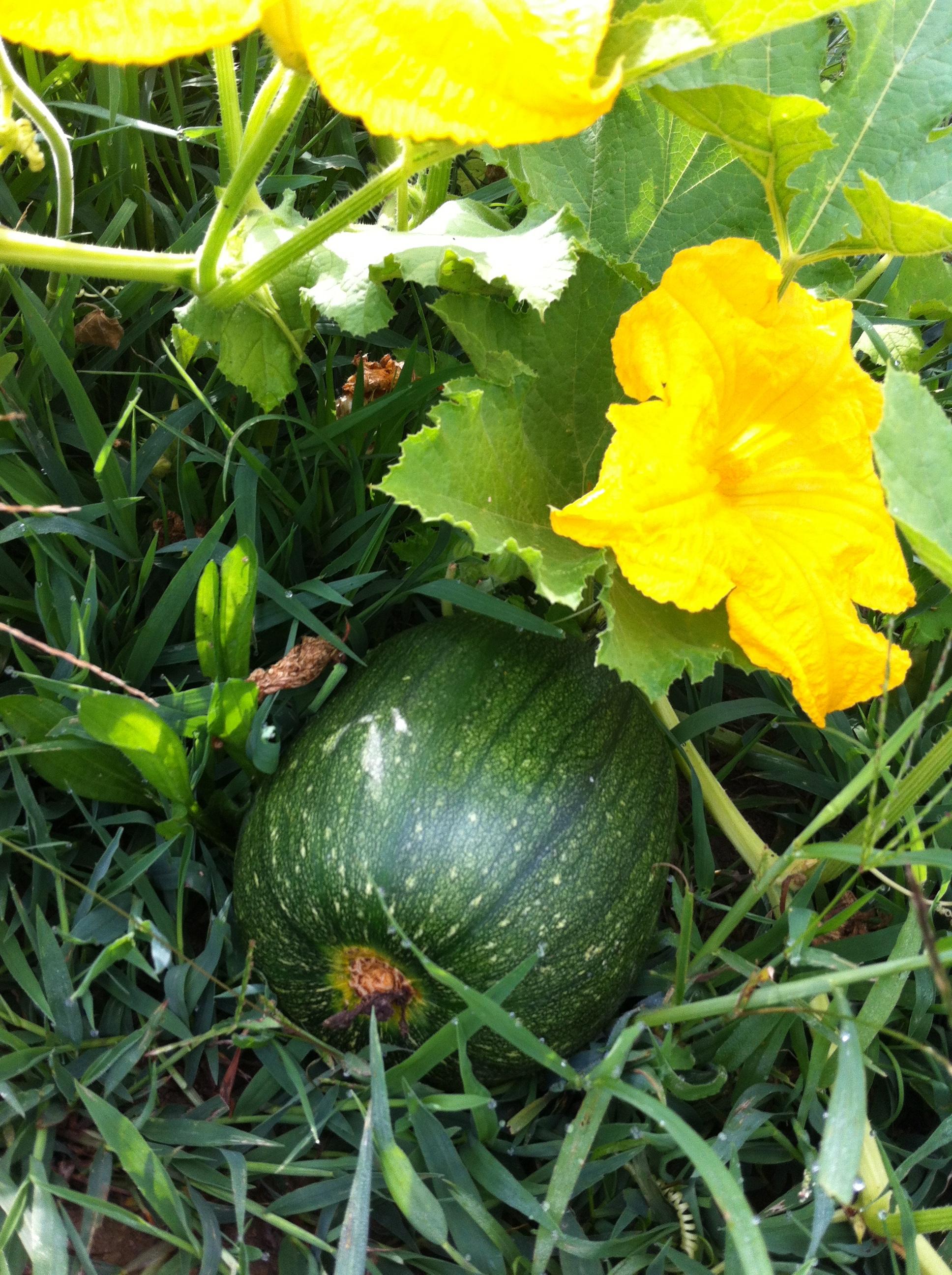 Pumpkin On Vine2
