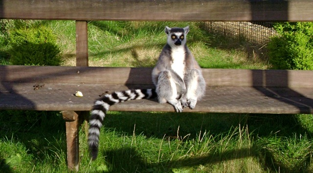 Lemur on bench
