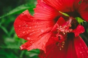 close up of a hibiscus flower