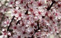 thumb2-cherry-blossom-spring-cherry-spring-flowers