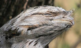 Tawny Frogmouth 'beak'