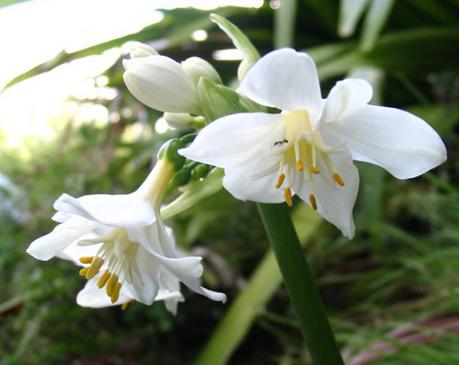 Brisbane Lily 1