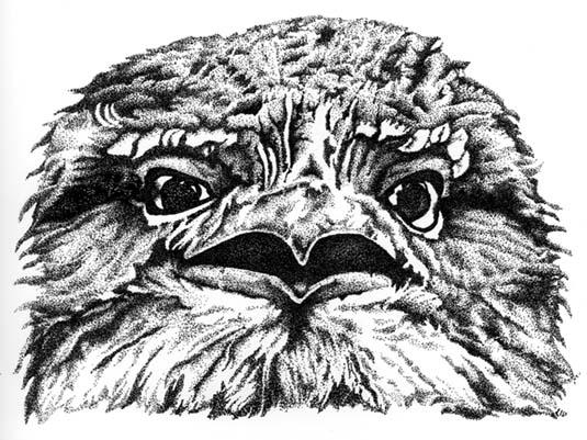 Tawny Frogmouth Illustration