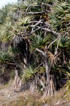 Seaside Wildflowers - BALLINA PANDANUS 7