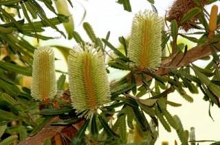 Saw Banksia
