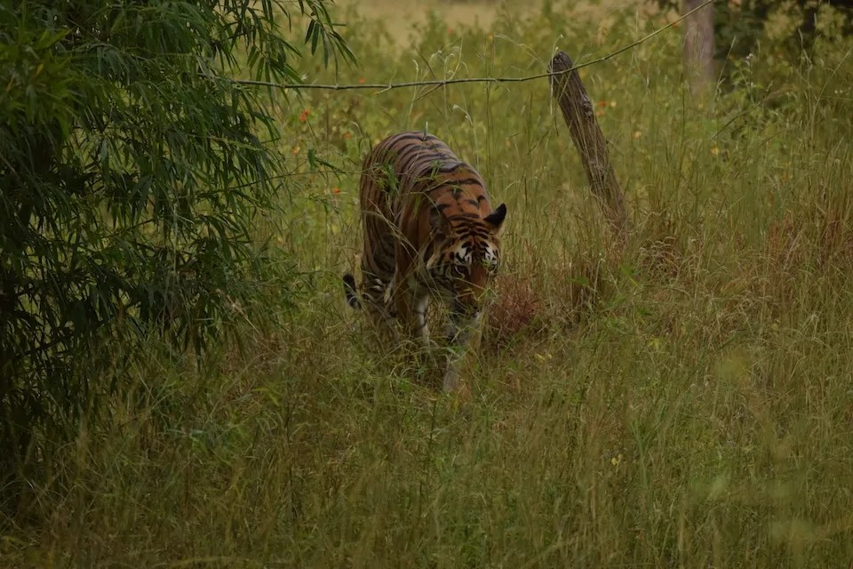 Seeing Tigers in India: Saving the Bengal Tiger.