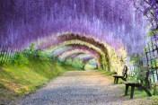 wisteria-tunnel japan2