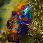 mandarin fish, colourful