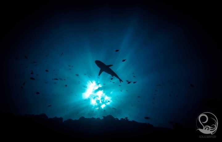 grey reef shark silhouette, palau, underwater, blue water, sunburst