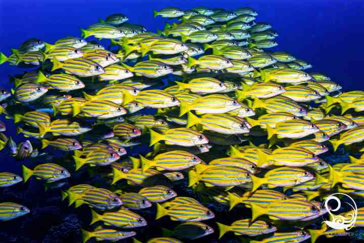 Schooling blue lined snapper