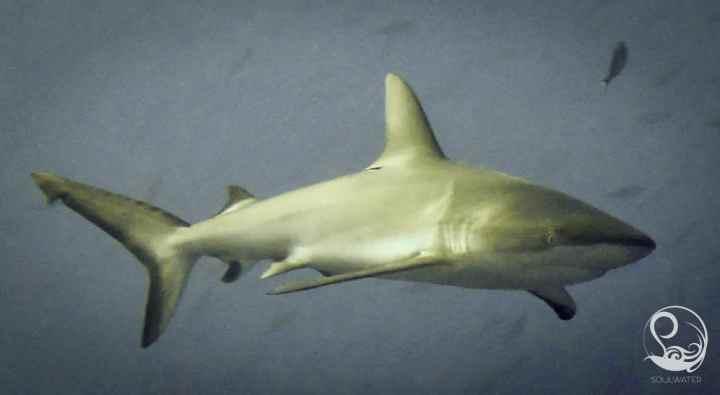 Grey Reef Shark in Palau