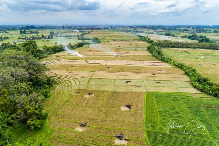 Drone shot of lush green rice fields in Canggu, Bali, Indonesia