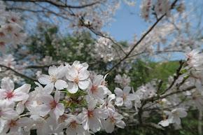 桜のアップ!