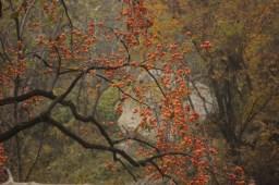 Деревья ломятся от хурмы