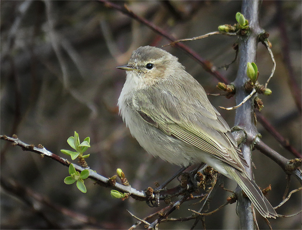 A tale of three chiffchaffs – Soundbirding
