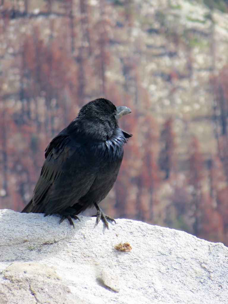 Crow on edge of cliff; burnt forest in background