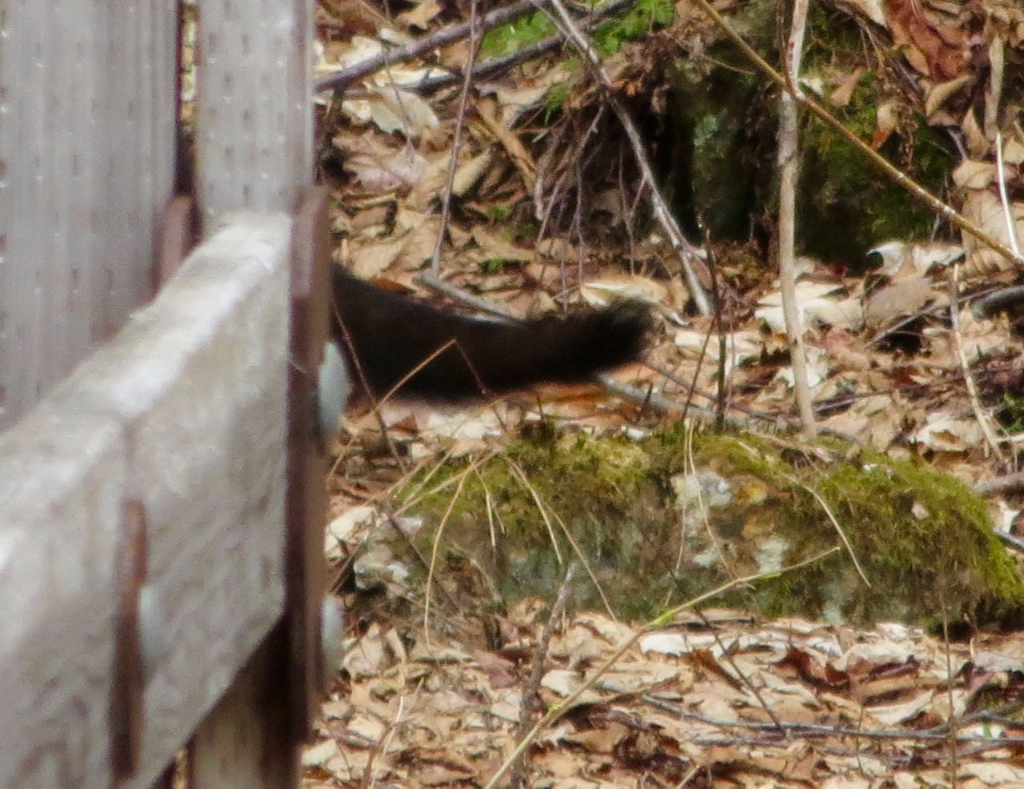 Tail of a fisher cat behind a bridge