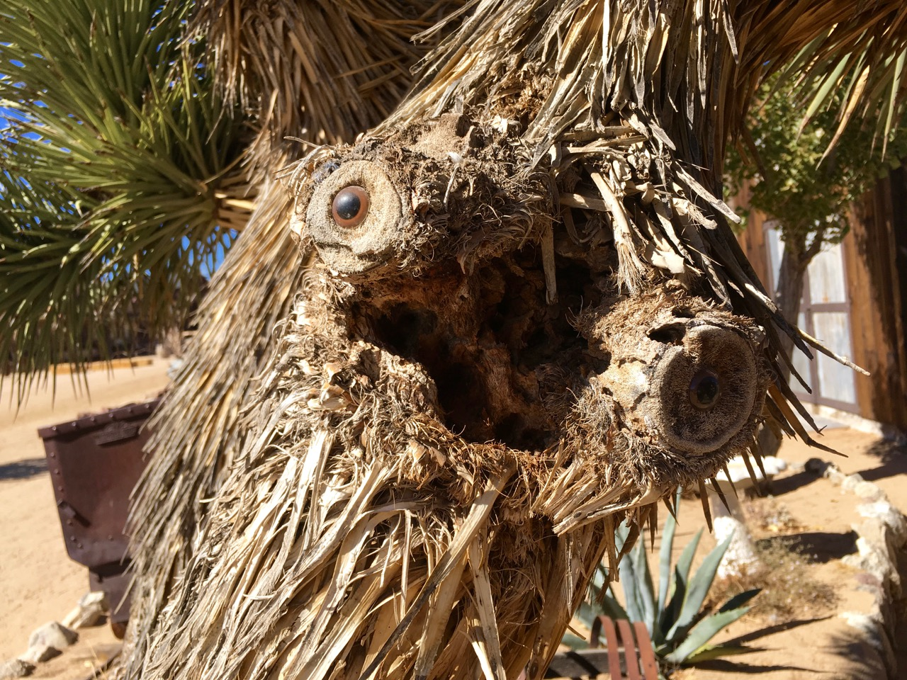 Joshua Tree with glass eyes in joint to make face