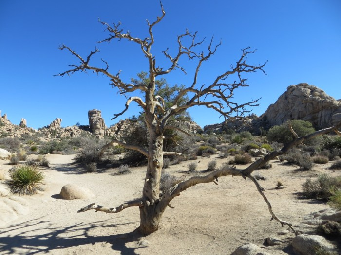 Solitary dead oak tree in desert, Joshua Tree