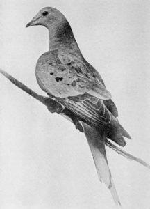 Martha_ultimul porumbel calator_1914