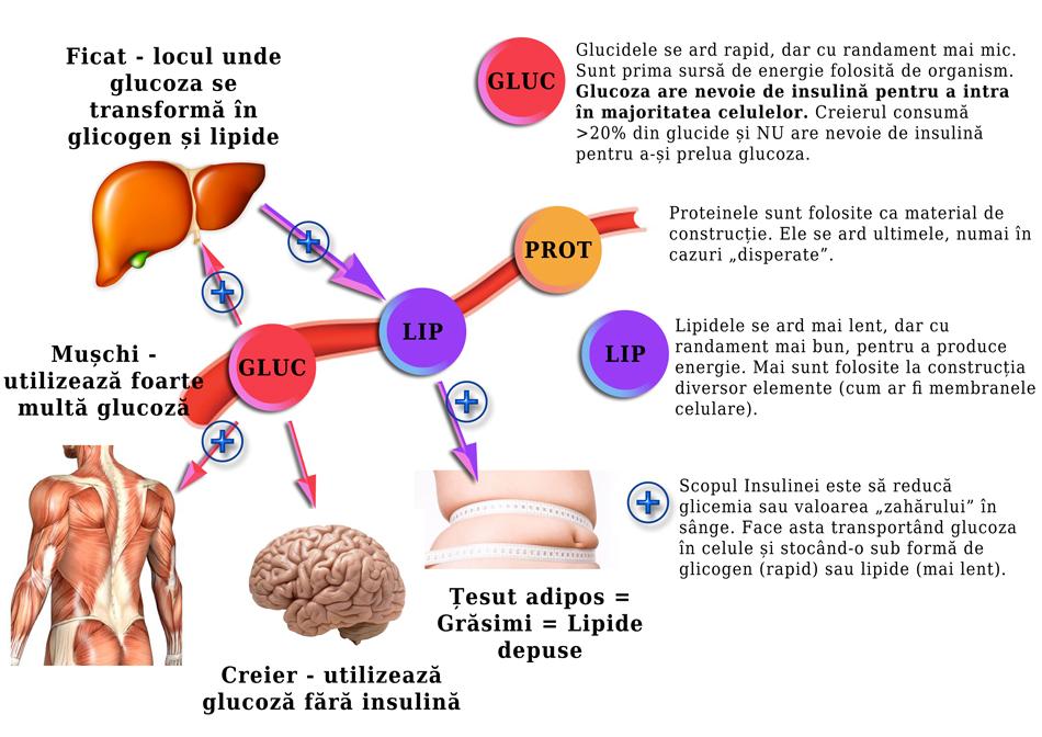 epuizarea pierderii de grăsime glicogen)