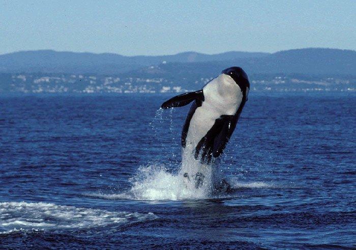orca granny - bunicuta